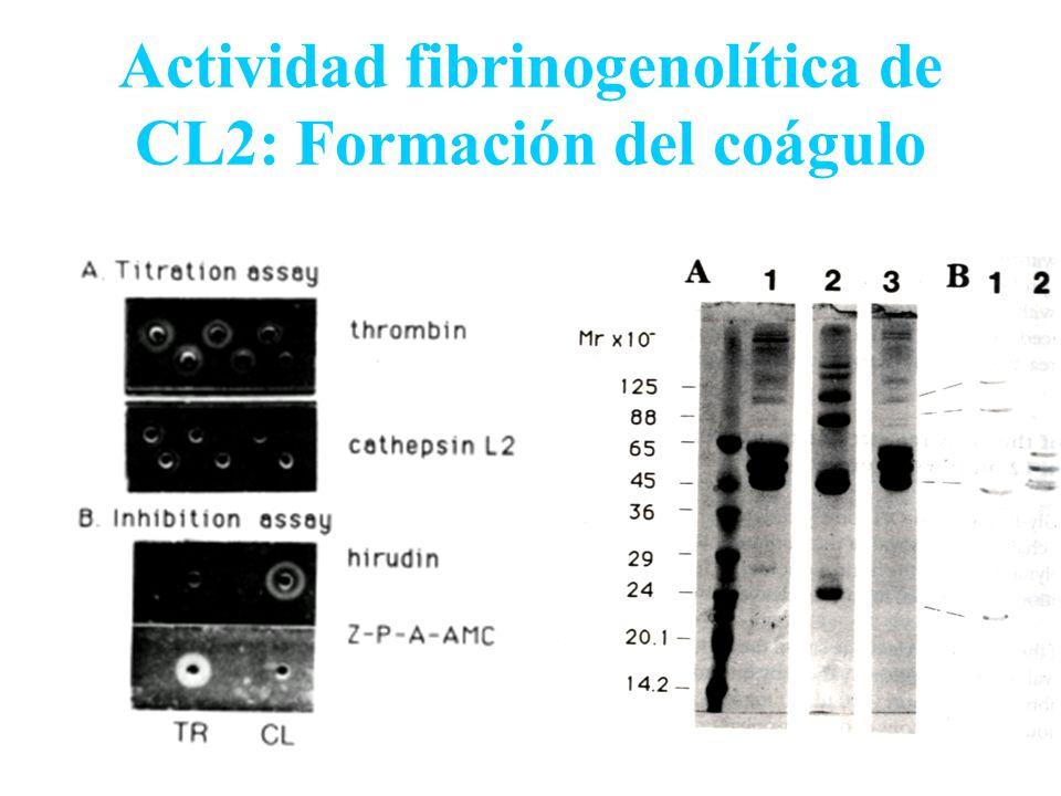 Actividad fibrinogenolítica de CL2: Formación del coágulo