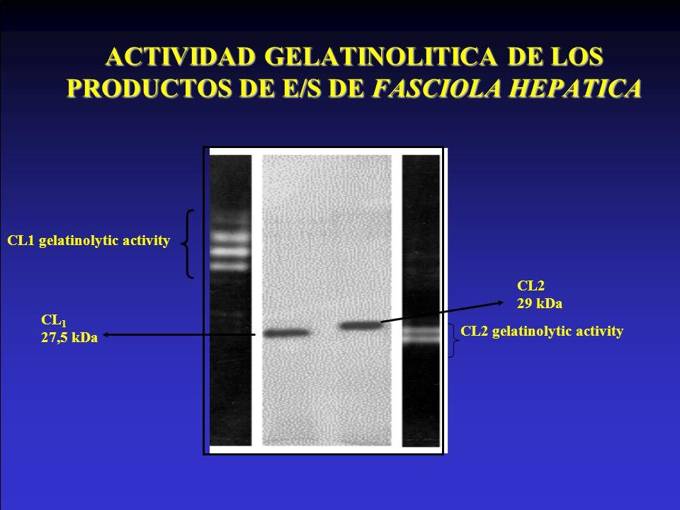 ACTIVIDAD GELATINOLITICA DE LOS PRODUCTOS DE E/S DE FASCIOLA HEPATICA