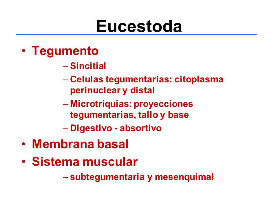 Eucestoda Tegumento Membrana basal Sistema muscular Sincitial