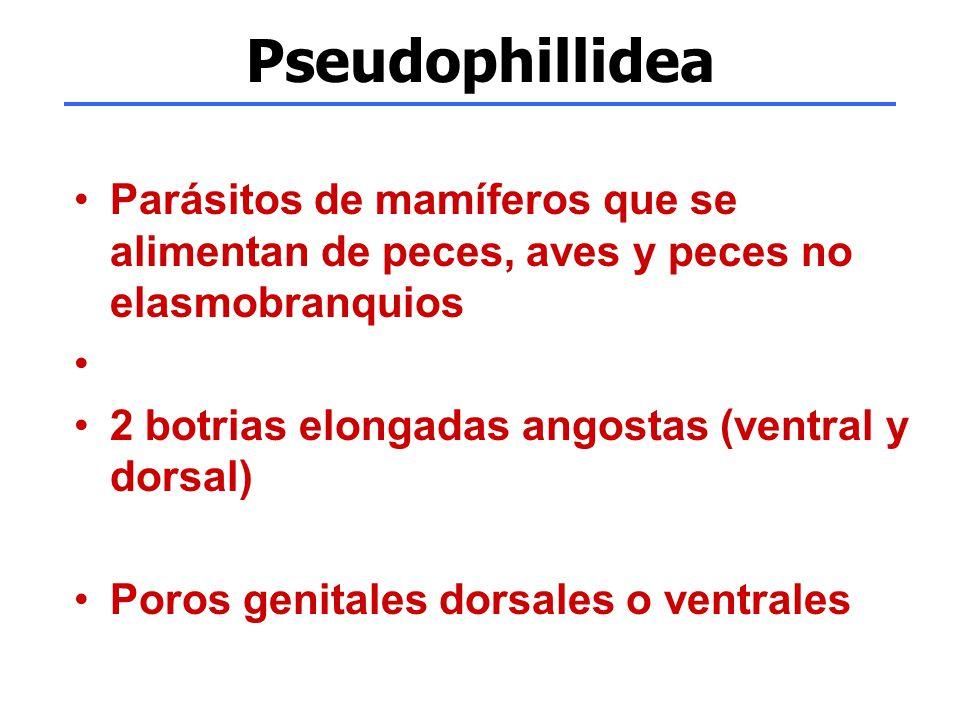 Pseudophillidea Parásitos de mamíferos que se alimentan de peces, aves y peces no elasmobranquios. 2 botrias elongadas angostas (ventral y dorsal)