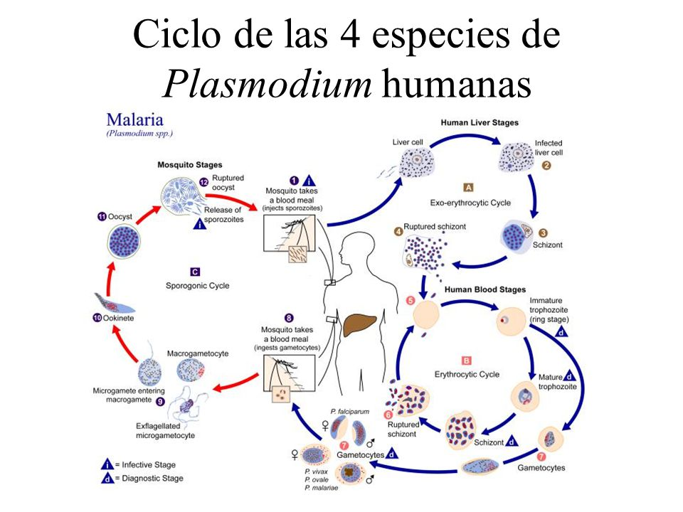 Ciclo de las 4 especies de Plasmodium humanas