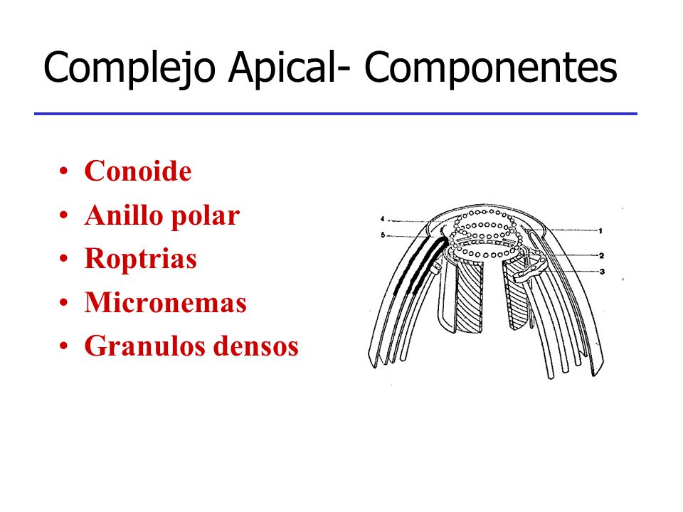Complejo Apical- Componentes