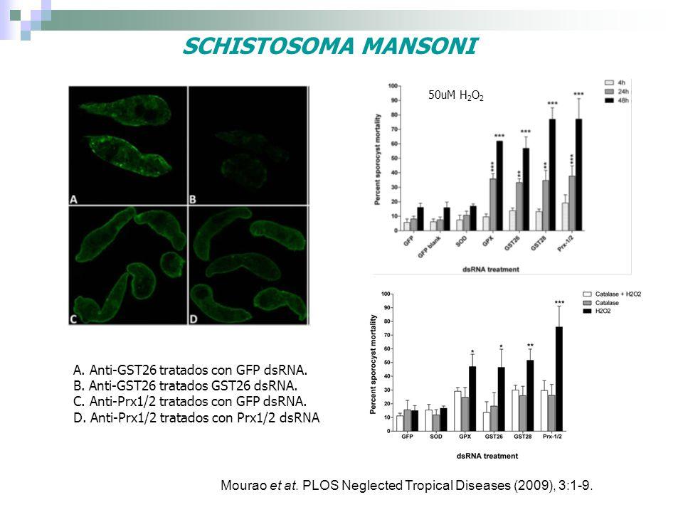 SCHISTOSOMA MANSONI A. Anti-GST26 tratados con GFP dsRNA.