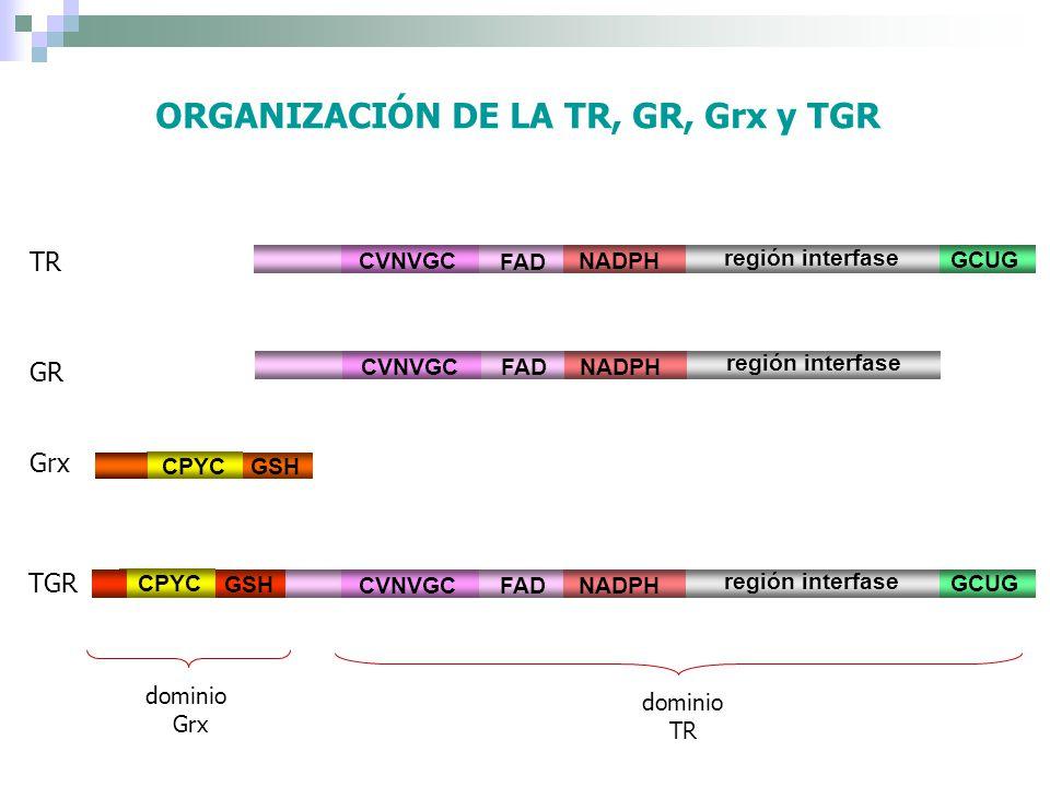 ORGANIZACIÓN DE LA TR, GR, Grx y TGR