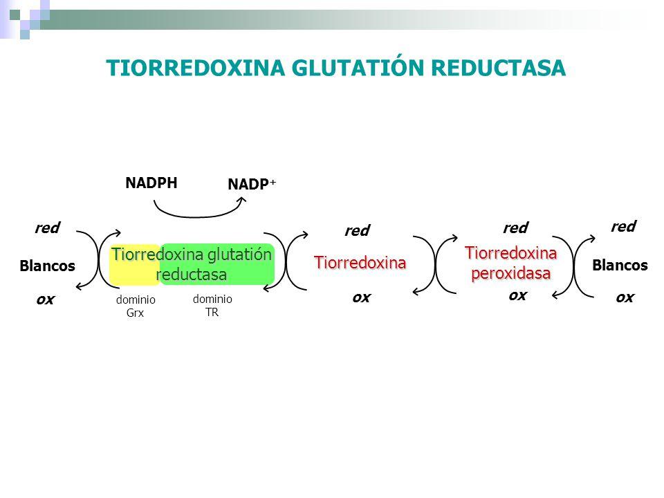 TIORREDOXINA GLUTATIÓN REDUCTASA