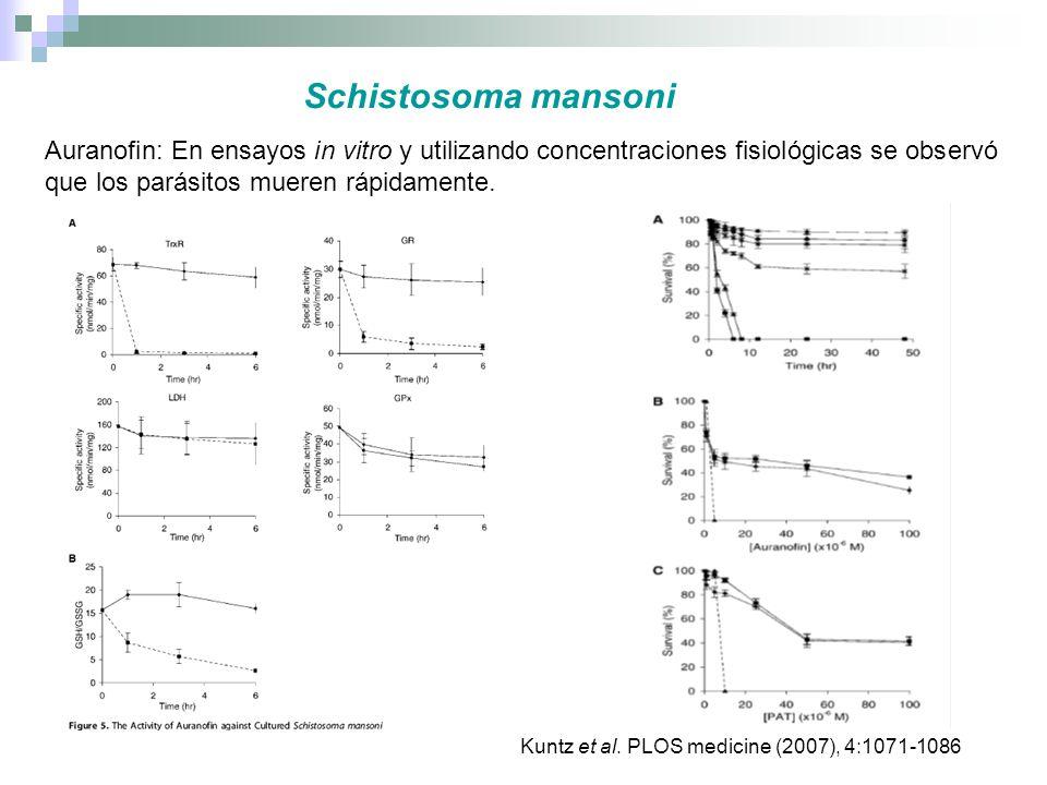Schistosoma mansoni Auranofin: En ensayos in vitro y utilizando concentraciones fisiológicas se observó que los parásitos mueren rápidamente.