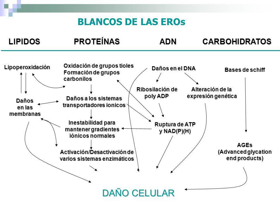 BLANCOS DE LAS EROs DAÑO CELULAR LIPIDOS PROTEÍNAS ADN CARBOHIDRATOS