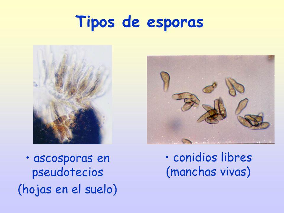 ascosporas en pseudotecios (hojas en el suelo)