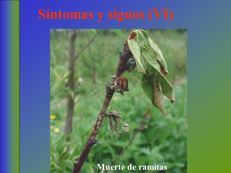 Síntomas y signos (VI) Muerte de ramitas