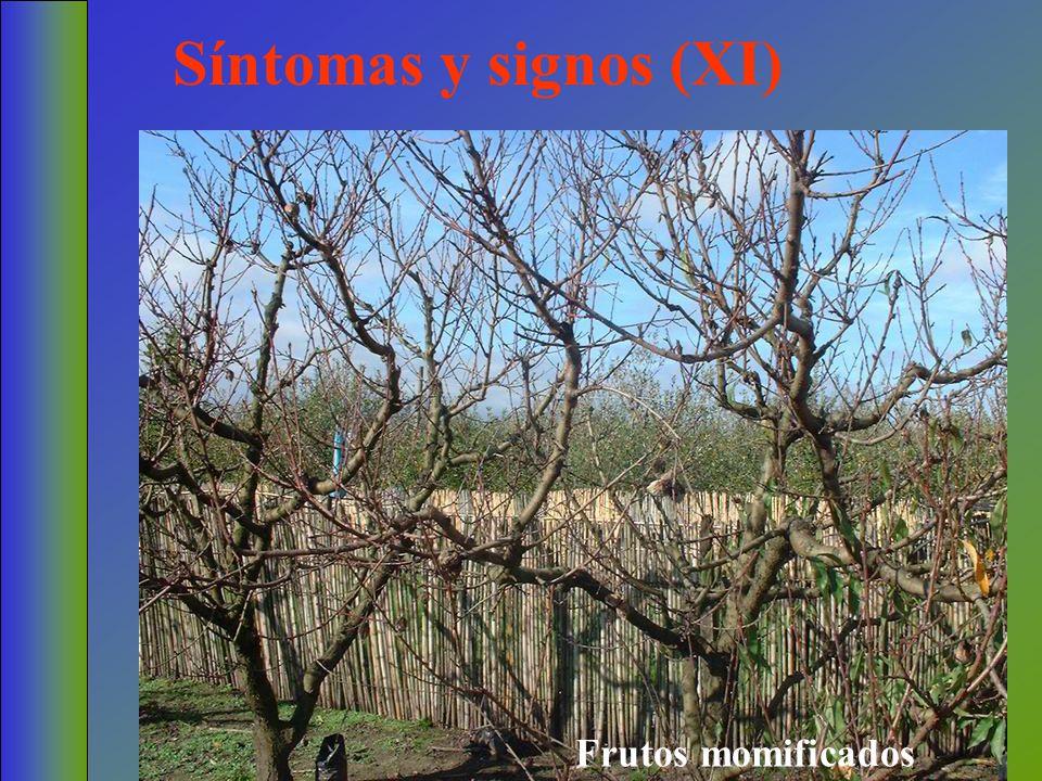 Síntomas y signos (XI) Frutos momificados