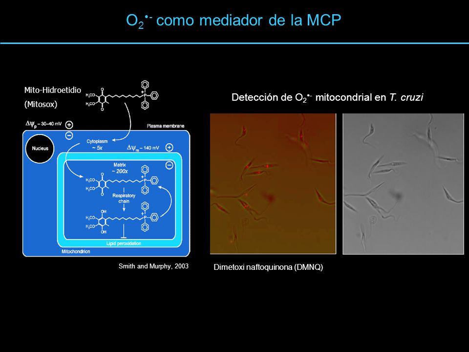 O2- como mediador de la MCP