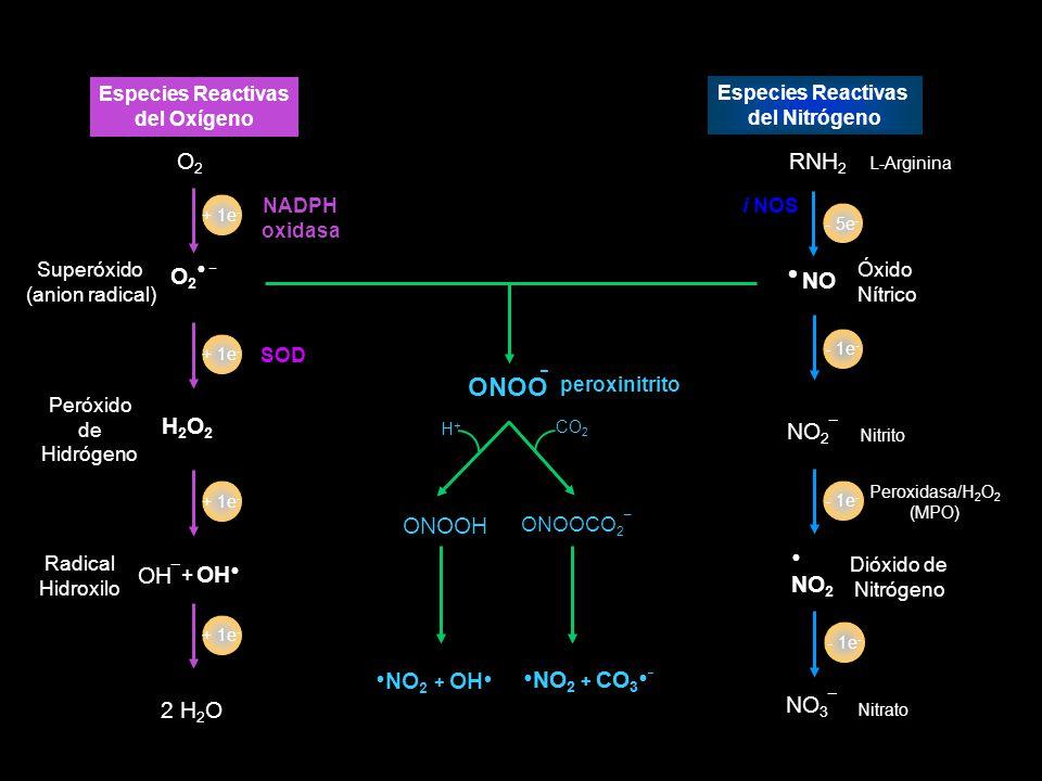 - ONOO O2 RNH2 O2● _ H2O2 NO2¯ OH¯ OH● NO3¯ 2 H2O +