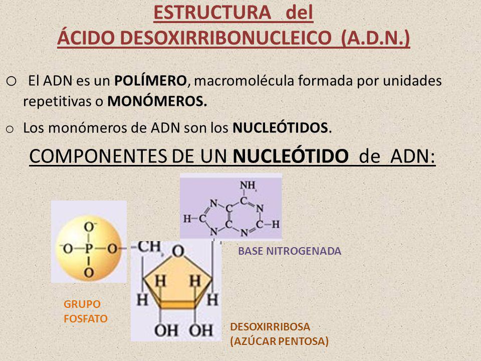 ESTRUCTURA del ÁCIDO DESOXIRRIBONUCLEICO (A.D.N.)