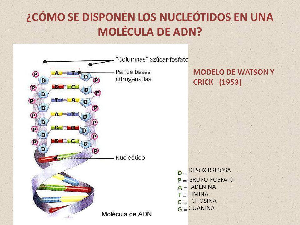 ¿CÓMO SE DISPONEN LOS NUCLEÓTIDOS EN UNA MOLÉCULA DE ADN