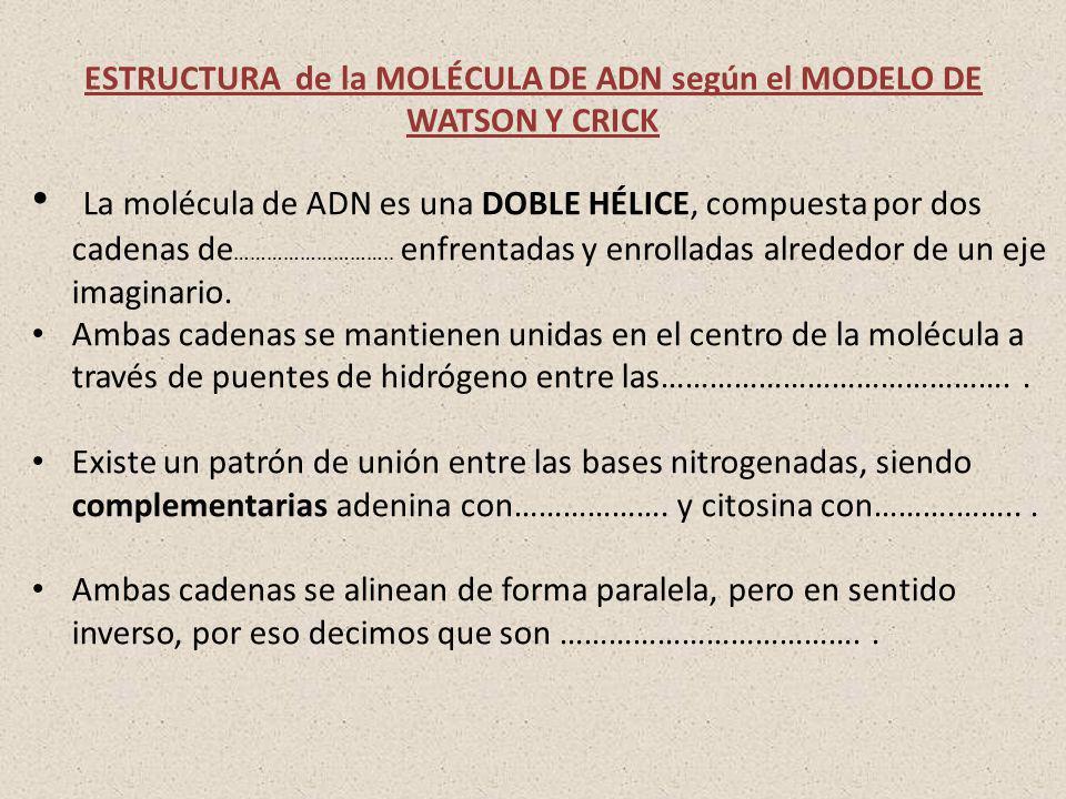ESTRUCTURA de la MOLÉCULA DE ADN según el MODELO DE WATSON Y CRICK