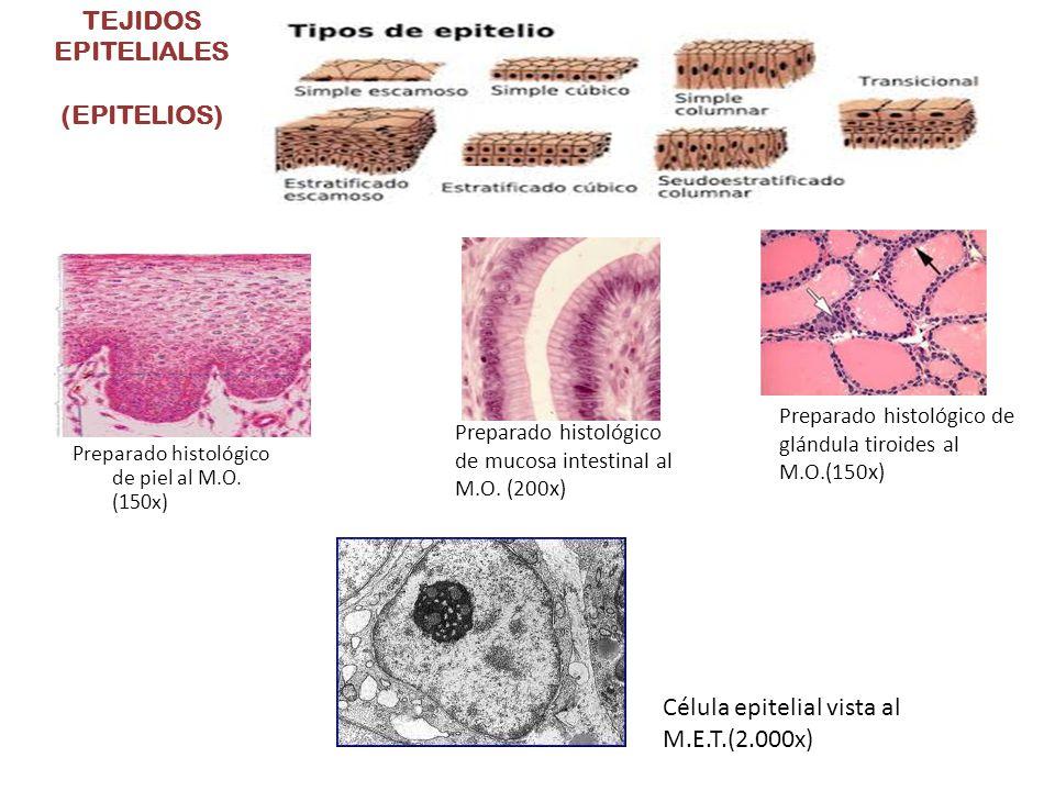 TEJIDOS EPITELIALES (EPITELIOS)
