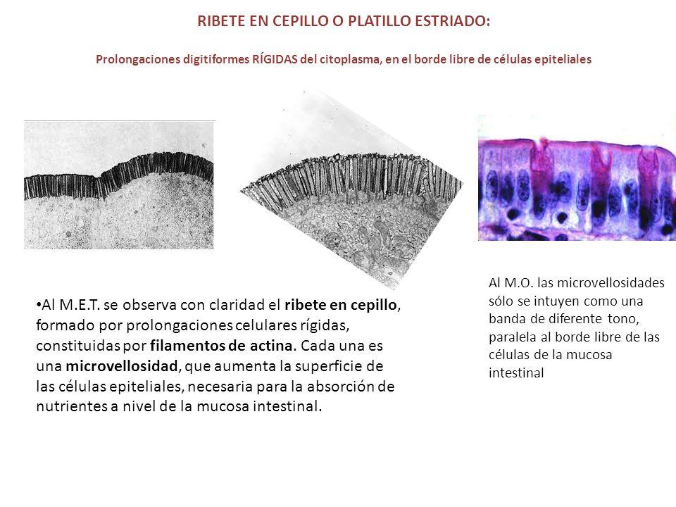 RIBETE EN CEPILLO O PLATILLO ESTRIADO: Prolongaciones digitiformes RÍGIDAS del citoplasma, en el borde libre de células epiteliales