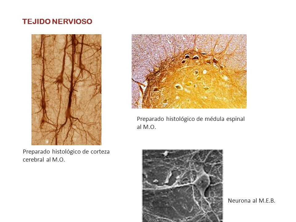 TEJIDO NERVIOSO Preparado histológico de médula espinal al M.O.