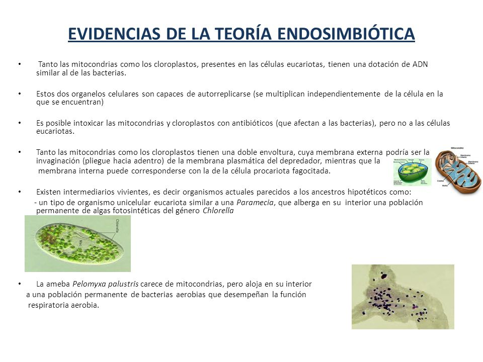EVIDENCIAS DE LA TEORÍA ENDOSIMBIÓTICA