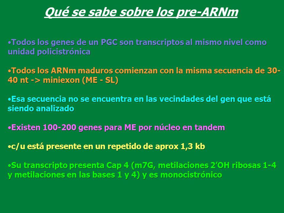 Qué se sabe sobre los pre-ARNm