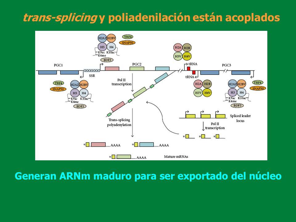 trans-splicing y poliadenilación están acoplados