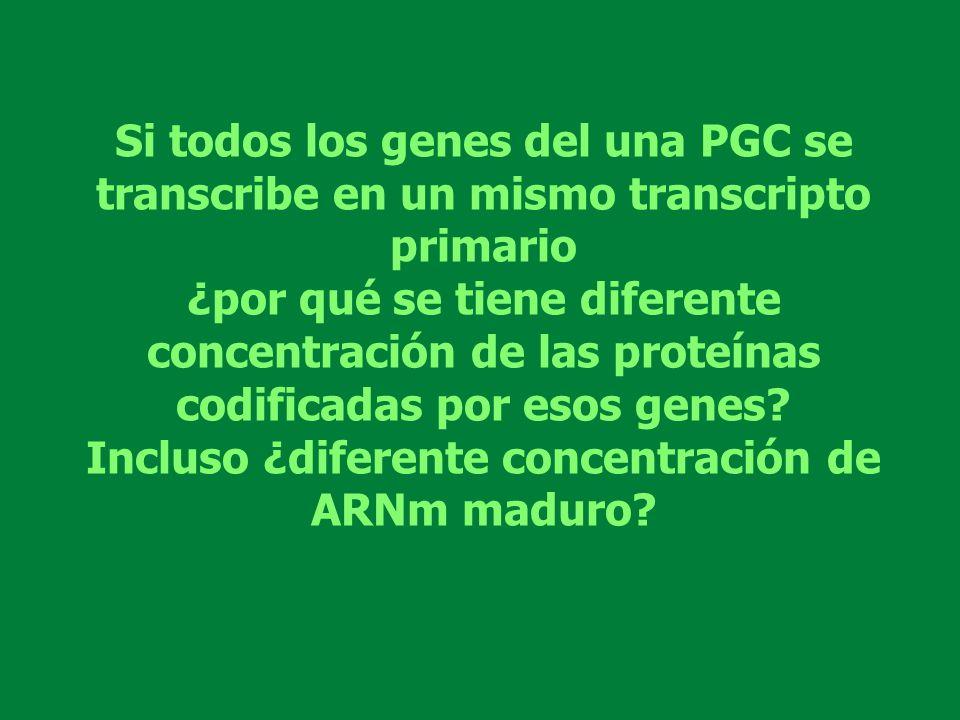 Incluso ¿diferente concentración de ARNm maduro