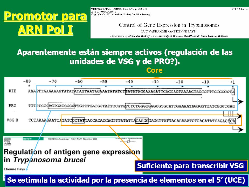 Promotor para ARN Pol I Aparentemente están siempre activos (regulación de las unidades de VSG y de PRO ).