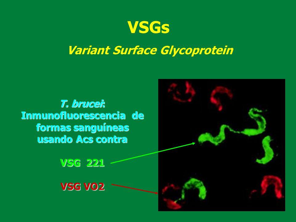 Inmunofluorescencia de formas sanguíneas usando Acs contra