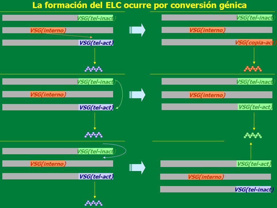 La formación del ELC ocurre por conversión génica