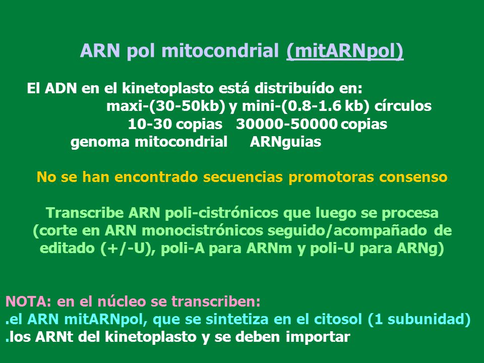 ARN pol mitocondrial (mitARNpol)