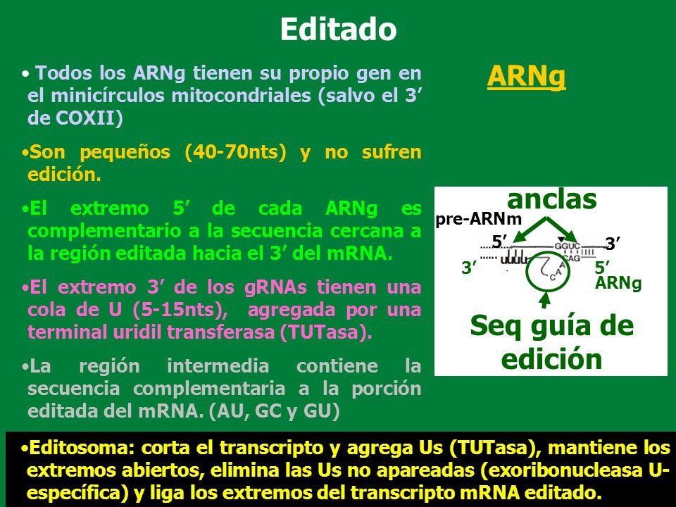 Editado ARNg anclas Seq guía de edición