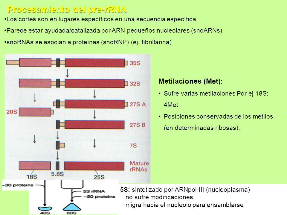 Procesamiento del pre-rRNA