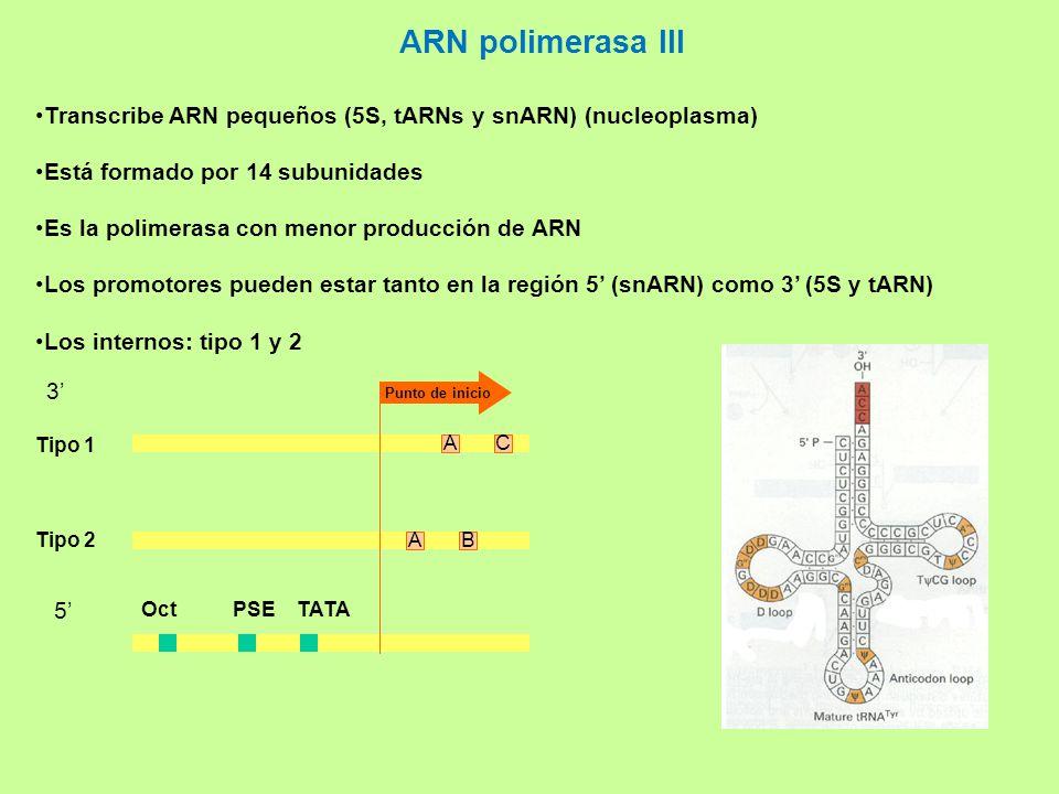 ARN polimerasa III Transcribe ARN pequeños (5S, tARNs y snARN) (nucleoplasma) Está formado por 14 subunidades.