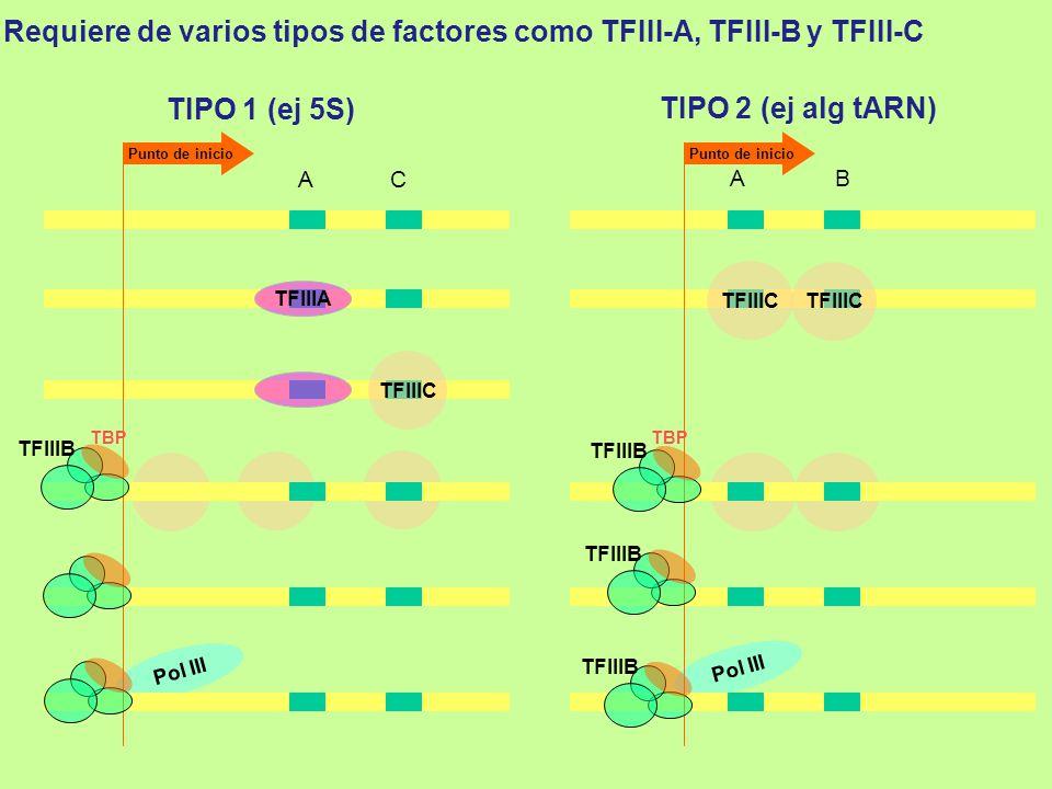 Requiere de varios tipos de factores como TFIII-A, TFIII-B y TFIII-C
