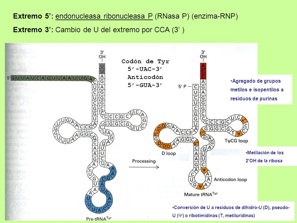 Extremo 5': endonucleasa ribonucleasa P (RNasa P) (enzima-RNP)