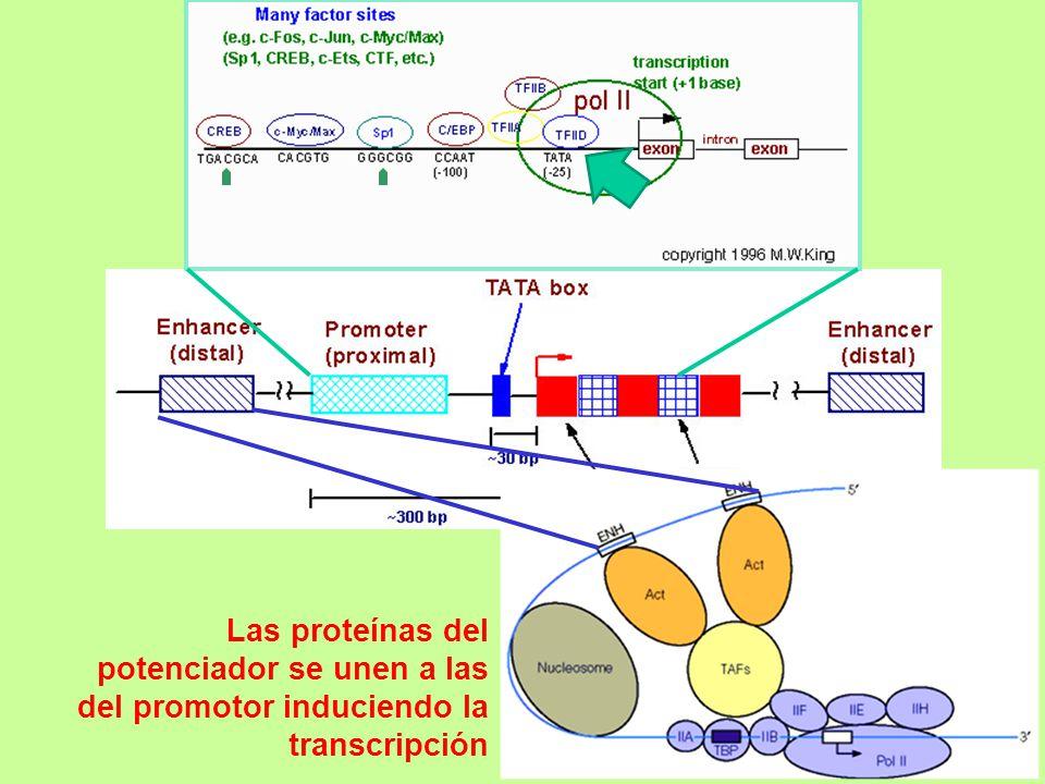 Las proteínas del potenciador se unen a las del promotor induciendo la transcripción
