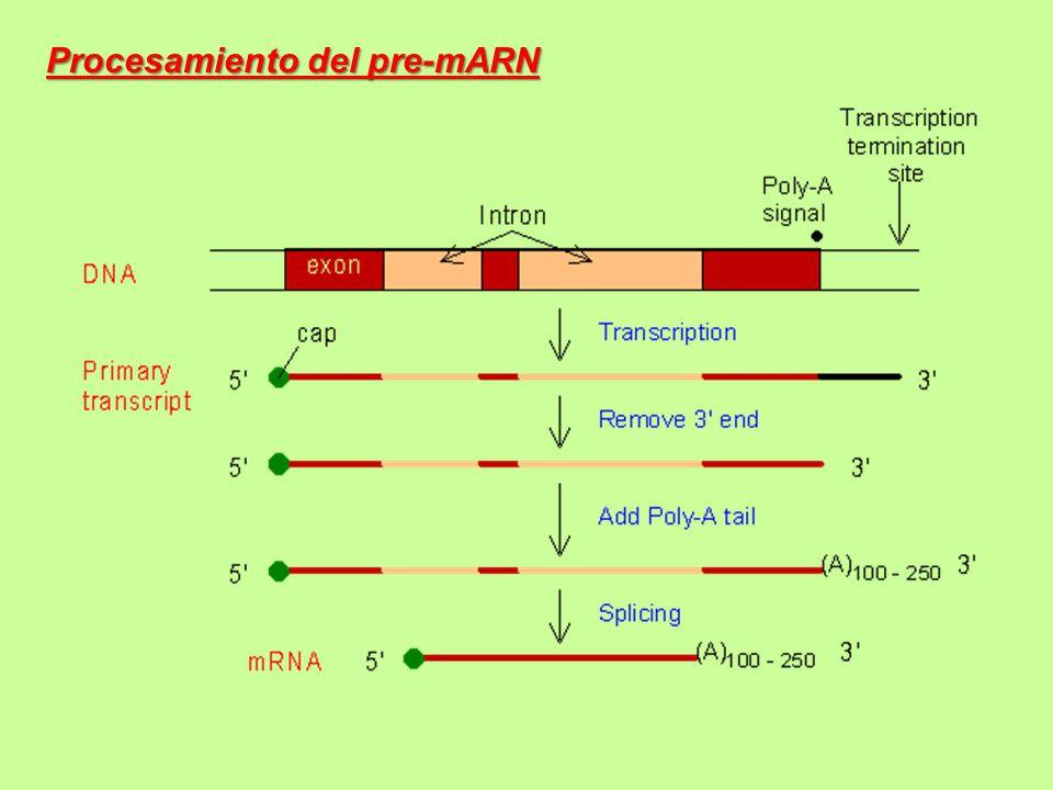 Procesamiento del pre-mARN