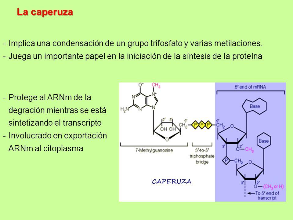 La caperuza Implica una condensación de un grupo trifosfato y varias metilaciones.