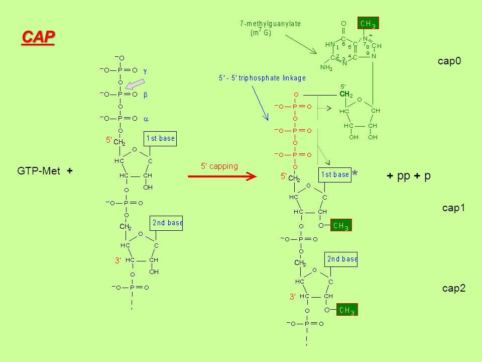 CAP cap0 GTP-Met + * + pp + p cap1 cap2