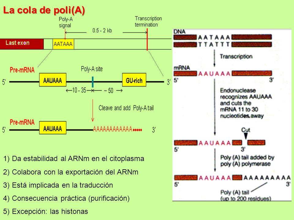 La cola de poli(A) Da estabilidad al ARNm en el citoplasma