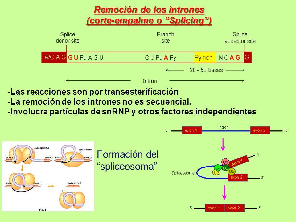 Remoción de los intrones (corte-empalme o Splicing )