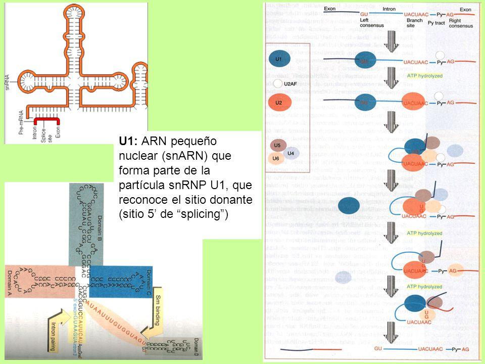 U1: ARN pequeño nuclear (snARN) que forma parte de la partícula snRNP U1, que reconoce el sitio donante (sitio 5' de splicing )