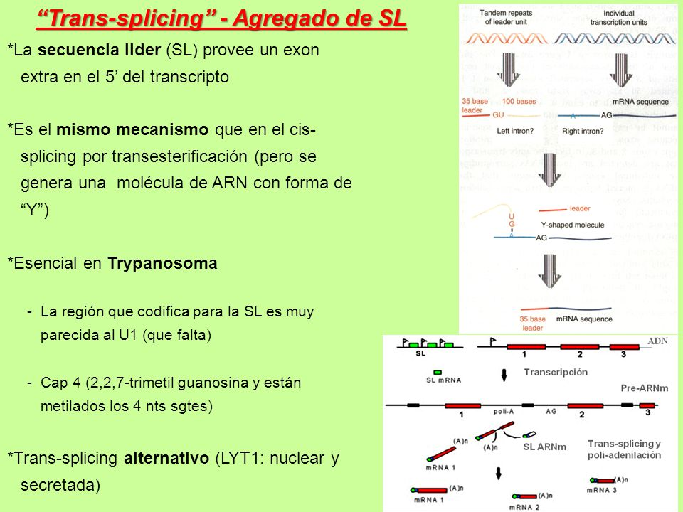 Trans-splicing - Agregado de SL