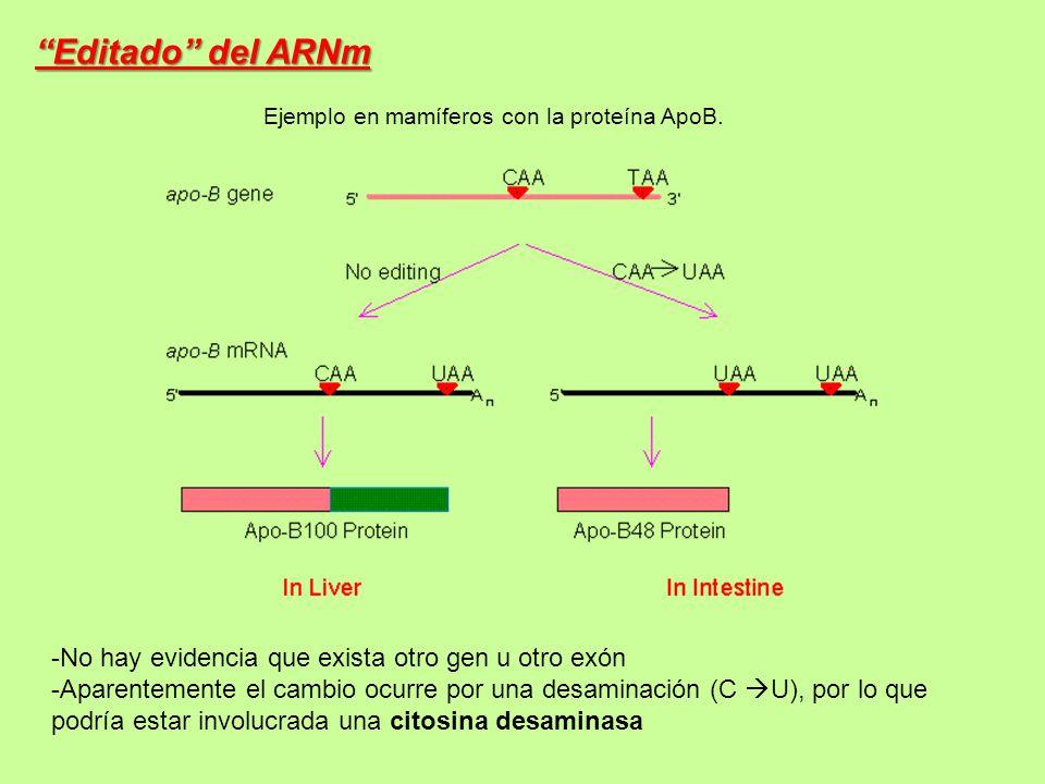 Editado del ARNm No hay evidencia que exista otro gen u otro exón