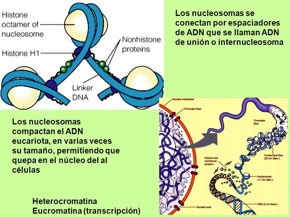 Los nucleosomas se conectan por espaciadores de ADN que se llaman ADN de unión o internucleosoma