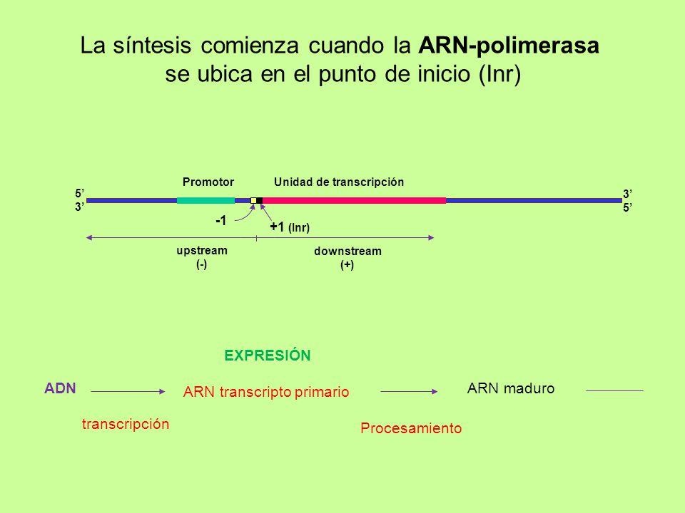 La síntesis comienza cuando la ARN-polimerasa