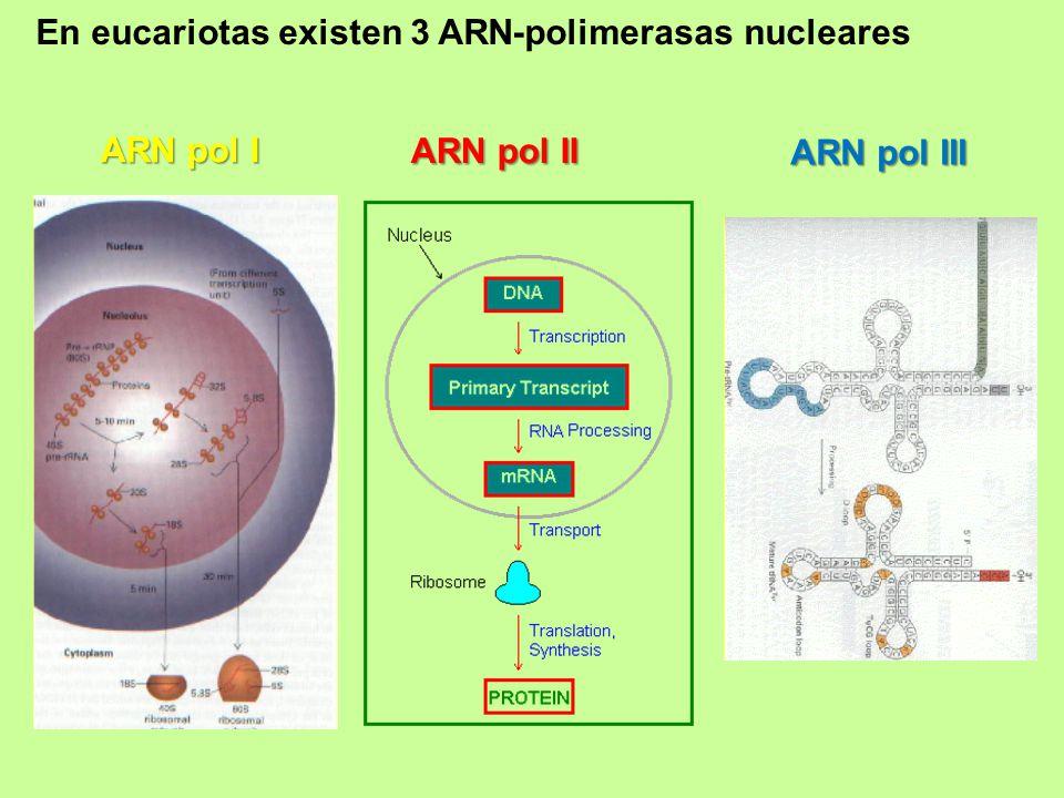 En eucariotas existen 3 ARN-polimerasas nucleares