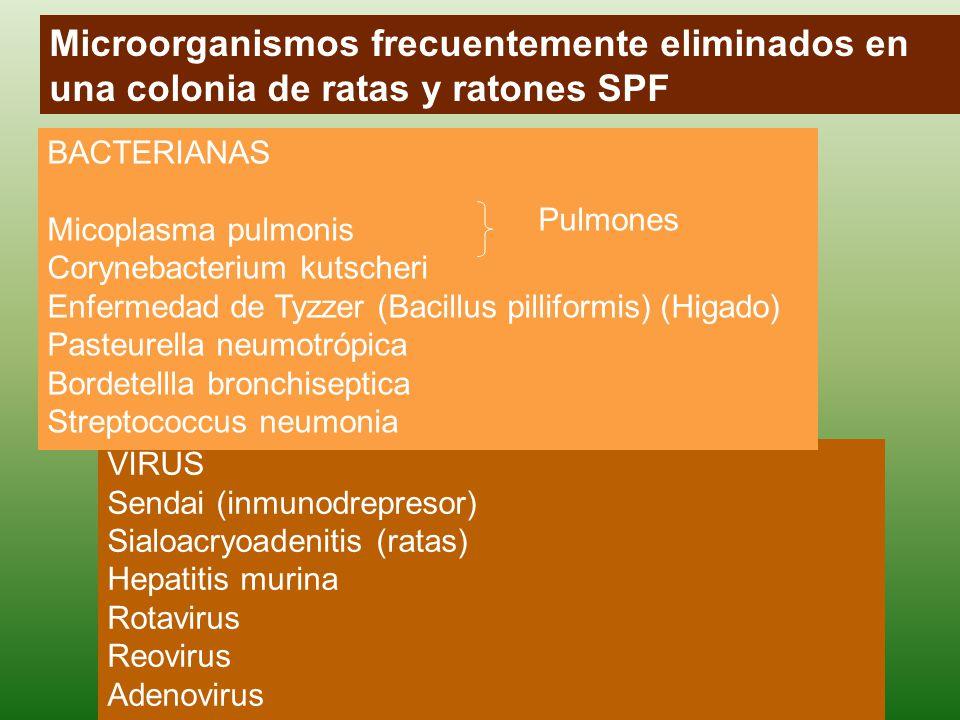 Microorganismos frecuentemente eliminados en una colonia de ratas y ratones SPF