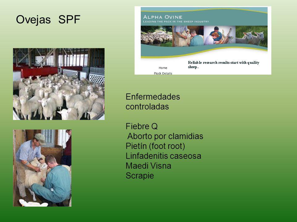 Ovejas SPF Enfermedades controladas Fiebre Q Aborto por clamidias