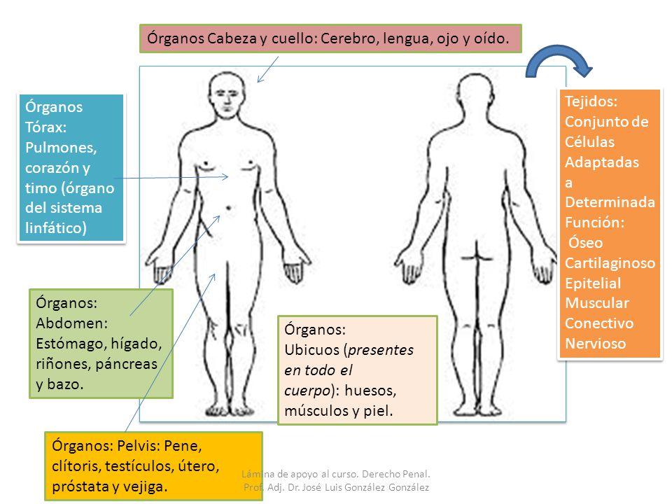 Órganos Cabeza y cuello: Cerebro, lengua, ojo y oído.